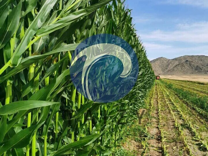 Corn-for-silage