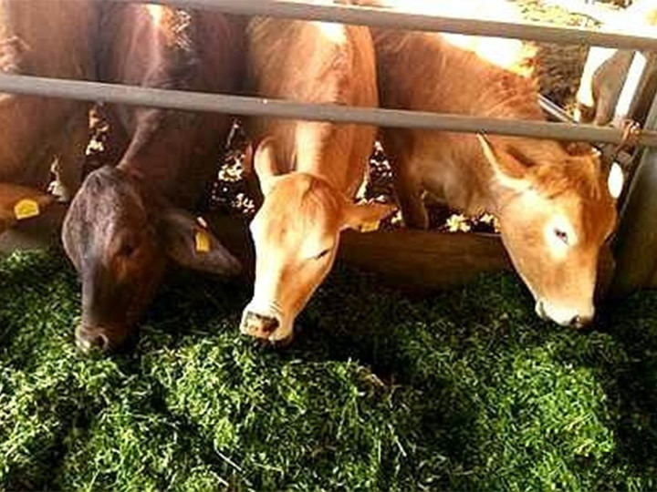 Scene-of-cows-eating-silage-1